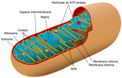 500px-Animal_mitochondrion_diagram_es.svg